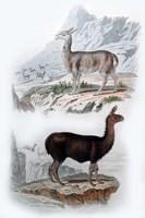Vicuna and Llama Fine-Art Print