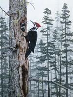 Piliated Woodpeckers Fine-Art Print