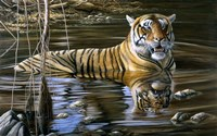 Cooling Off Bengal Tiger Fine-Art Print
