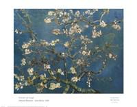 Almond Blossom Fine-Art Print