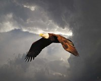 Above The Storm Bald Eagle Fine-Art Print