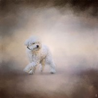 Bichon On The Go Fine-Art Print