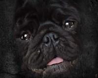 Black Pug Portrait Fine-Art Print