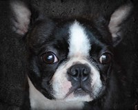 Boston Terrier Portrait Fine-Art Print