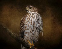 Coopers Hawk Portrait 1 Fine-Art Print