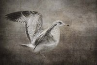 Dance Of The Lone Gull Fine-Art Print