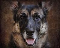 German Shepherd Face Fine-Art Print