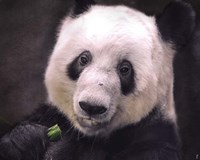 Giant Panda Bear Fine-Art Print