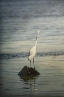 Great White Egret At Sunrise Fine-Art Print