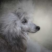Longing Silver Standard Poodle Fine-Art Print