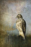 On The Fence Red Shouldered Hawk Fine-Art Print