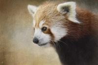 Red Panda Watching Fine-Art Print