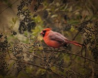 Song Of The Red Bird 2 Fine-Art Print