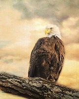 The Queen At Rest Bald Eagle Fine-Art Print