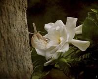 The Scent Of The Gardenia Fine-Art Print