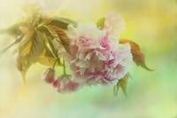 Cherry Blossoms In Spring Fine-Art Print