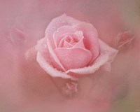 Pink Rose After The Storm Fine-Art Print