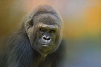 Portrait Of A Gorilla Fine-Art Print