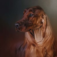 Catching The Breeze Irish Setter Fine-Art Print
