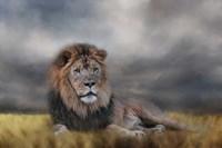 Lion Waiting For The Storm Fine-Art Print