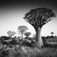 Namibia Quiver Trees Fine-Art Print
