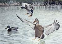 Decoyed Ducks Fine-Art Print