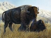 Resting Buffalo Fine-Art Print