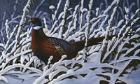 Fresh Snow - Ringneck Pheasant Fine-Art Print