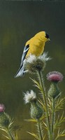 Goldfinch On Thistle Fine-Art Print