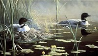 Nesting Loons Fine-Art Print