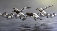 Canvasbacks Coming In Fine-Art Print