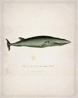 Whale 1 Fine-Art Print