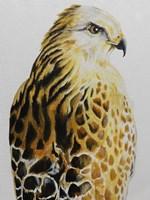 Hawk Fine-Art Print