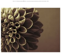 Chocolate Dahlia I Fine-Art Print