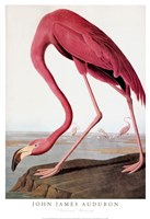 American Flamingo Fine-Art Print