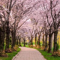 Cherry Blossom Trail Fine-Art Print