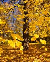 Yellow Tree Leaves, Stuttgart, Germany Fine-Art Print