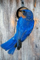 Male Eastern Bluebird Fine-Art Print