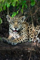 Jaguar, Pantanal Wetlands, Brazil Fine-Art Print