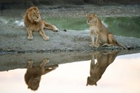 African Lion and Lioness, Ngorongoro Conservation Area, Tanzania Fine-Art Print