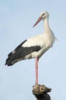 White Stork, Ndutu, Ngorongoro Conservation Area, Tanzania Fine-Art Print