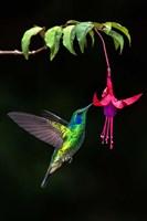 Green Violetear, Savegre, Costa Rica Fine-Art Print
