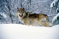Gray Wolf in Snow Fine-Art Print