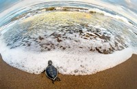 Green Sea Turtle, Tortuguero, Costa Rica Fine-Art Print
