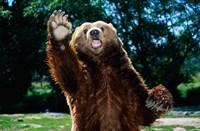 Grizzly Bear On Hind Legs Fine-Art Print