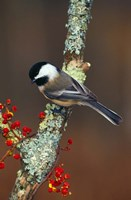 Black-capped Chickadee Bird Fine-Art Print