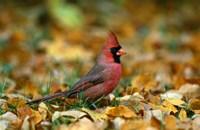 Male Cardinal Fine-Art Print