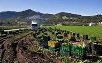 Harvesting Lettuce near Ventas de Zafarraya, Spain Fine-Art Print