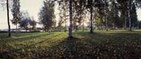 Birch Trees, Imatra, Finland Fine-Art Print