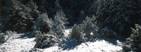 Snow Covered Firs, Provence-Alpes-Cote d'Azur, France Fine-Art Print